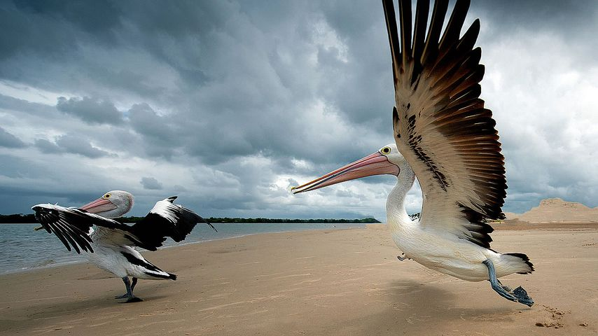 Pelicans on a beach in Queensland, Australia