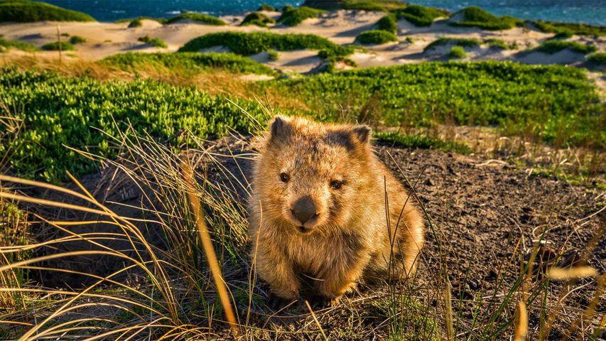 玛丽亚岛上的塔斯马尼亚袋熊,澳大利亚塔斯马尼亚州