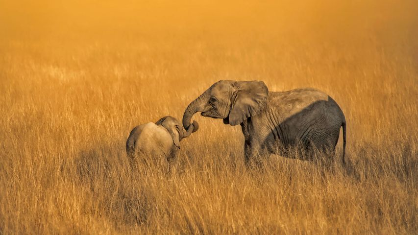 Baby and juvenile elephants in Amboseli National Park in Kenya