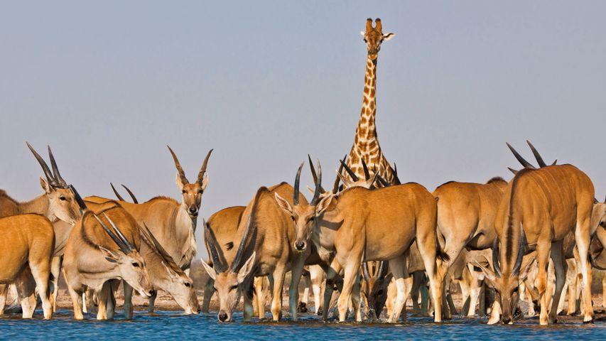 Girafe au milieu d'élands, Parc national d'Etosha, Namibie