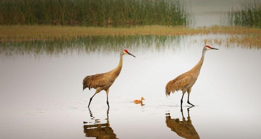 「カナダヅルの親子」アメリカ, フロリダ州