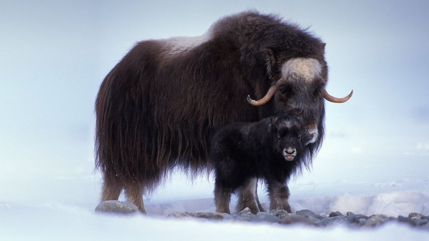 Muskox with newborn in the central Arctic coastal plain of Alaska