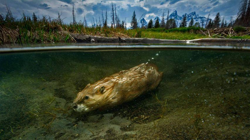For International Beaver Day, a beaver swimming in Grand Teton National Park, Wyoming, USA