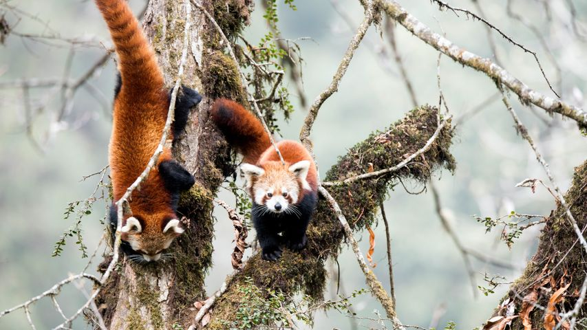 Red pandas in cloud forest habitat of Singalila in West Bengal, India