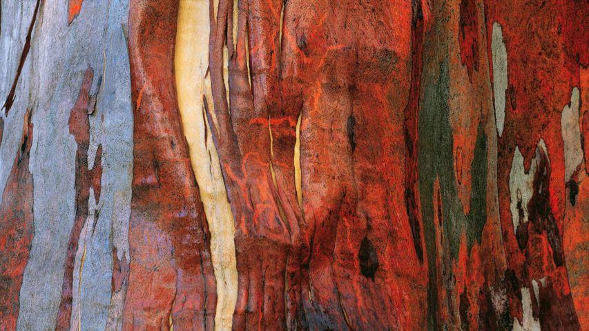 Alpine eucalypt bark in Tasmania