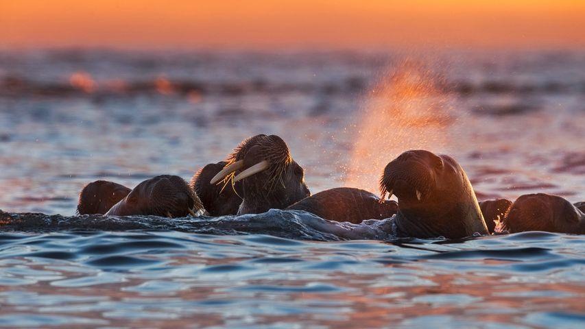 Walruses near Kvitøya in the Svalbard archipelago, Norway