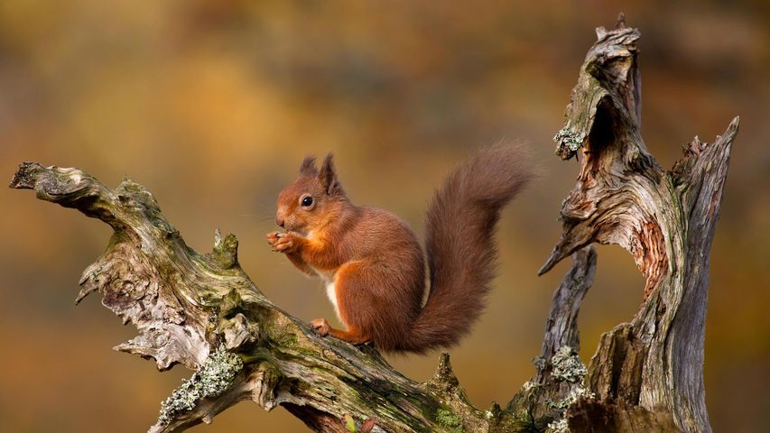 Eurasian red squirrel in the Cairngorms, Scottish Highlands, Scotland