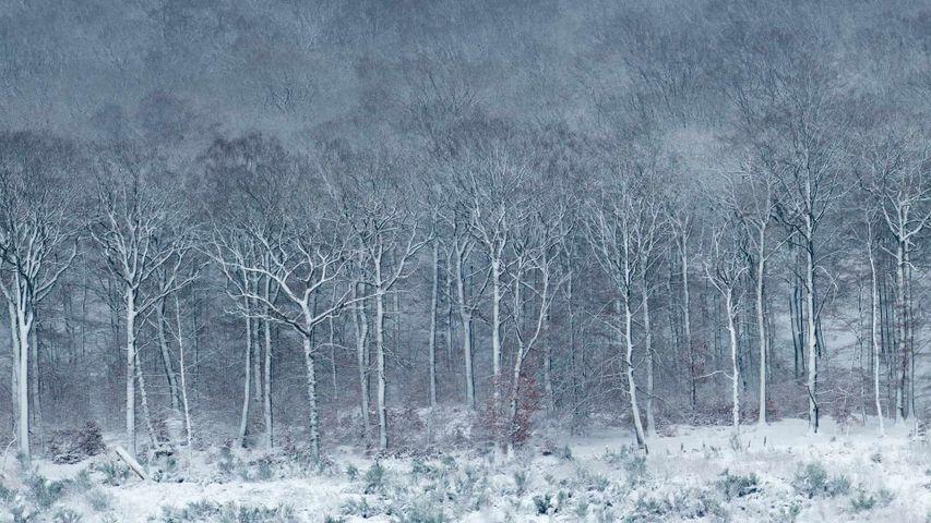 银装素裹的Luzulo-Fagetum山毛榉林,比利时阿登
