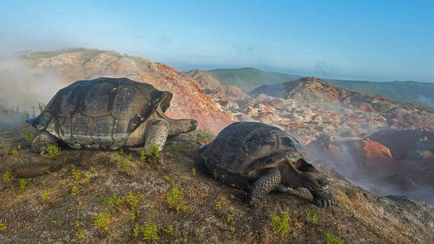 Galapagos-Riesenschildkröten auf dem Vulkan Alcedo, Galapagosinseln