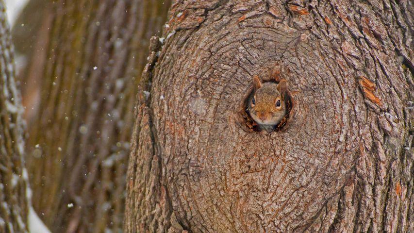一只从洞中偷窥的东部灰松鼠
