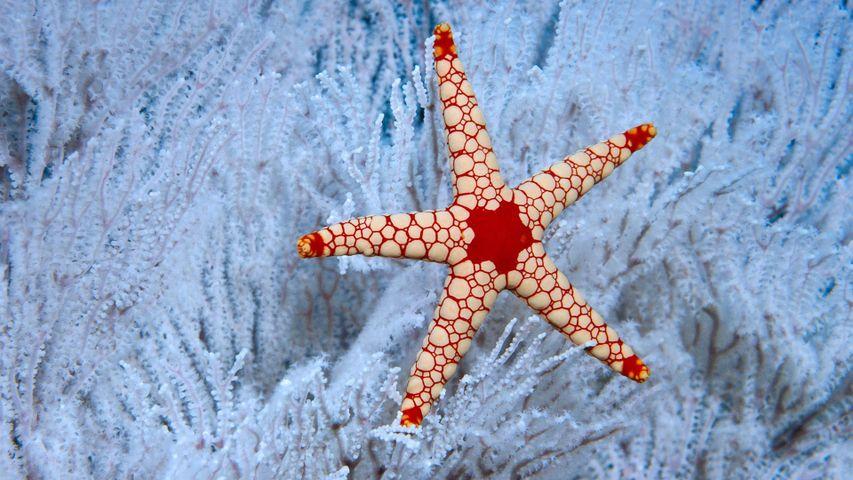 Une étoile de mer à mailles rouges (Fromia monilis) se prélassant dans du corail aux Seychelles