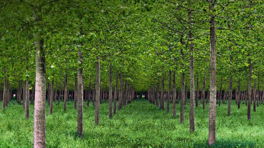 Poplar trees in Po Valley, Italy