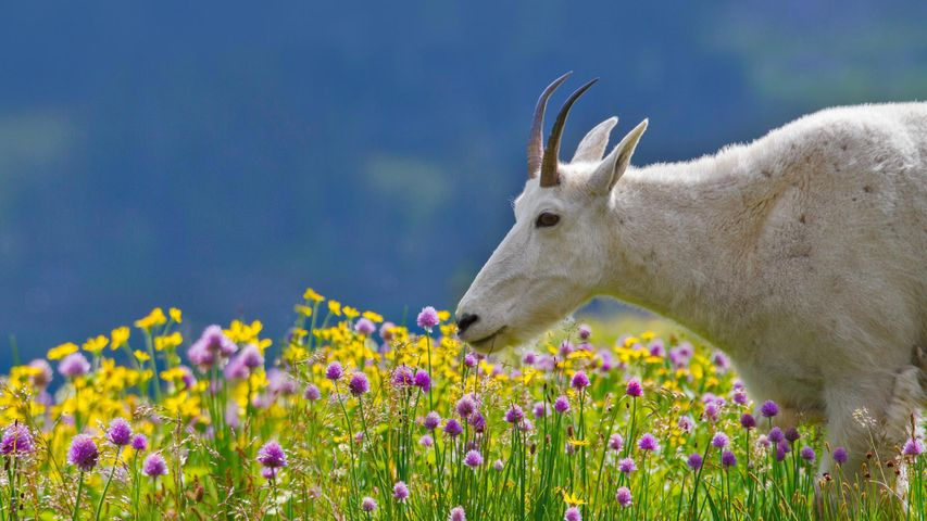 A mountain goat in Glacier National Park, Montana