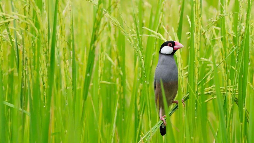 「田んぼの文鳥」タイ, バンコク