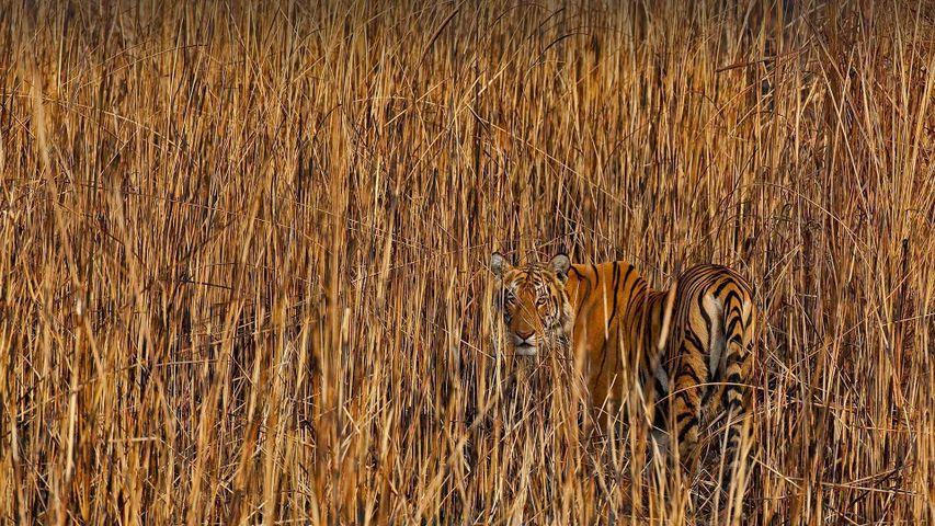 Tiger camouflaged amongst tall grass, Assam, India