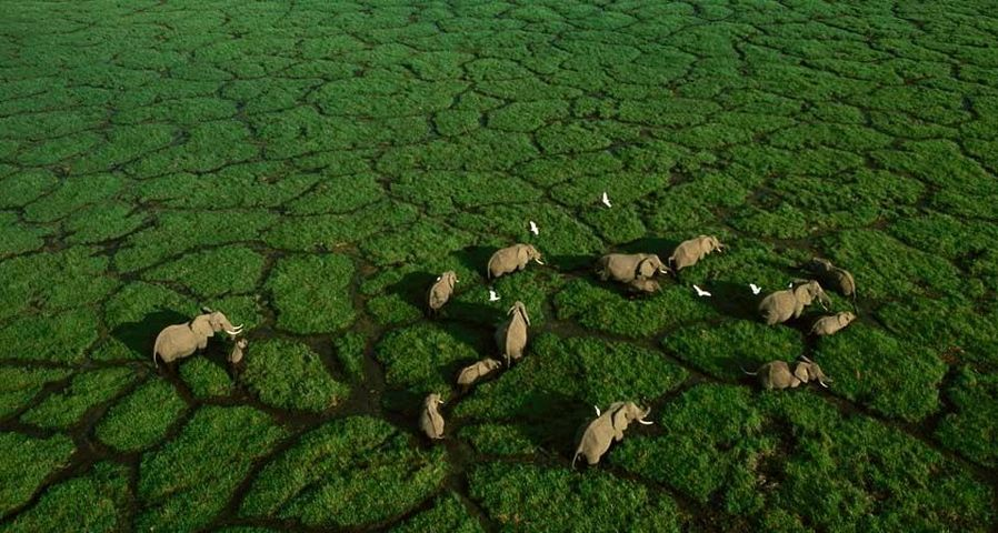 Elephant trails bisect the green grasses of Amboseli National Park, Kenya