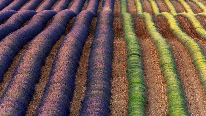 Lavender fields of Valensole, Provence, France