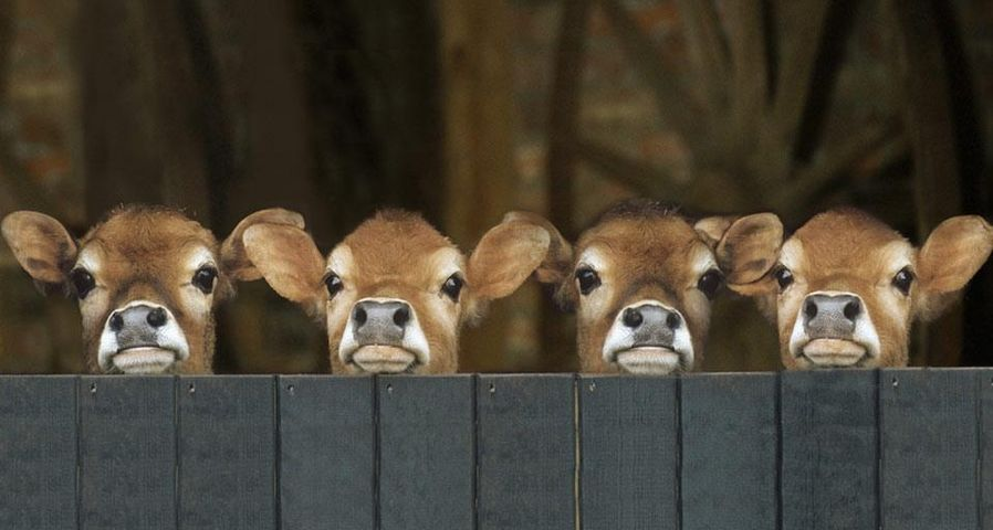 Jersey cows in stable