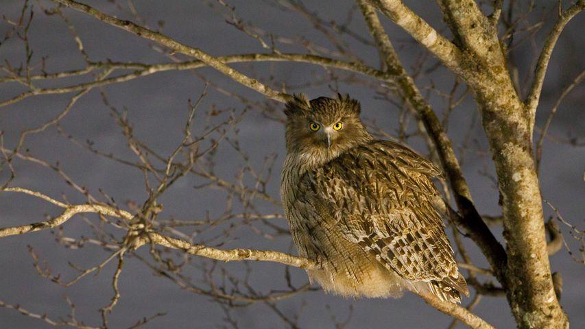 Blakiston's fish owl in Hokkaido, Japan