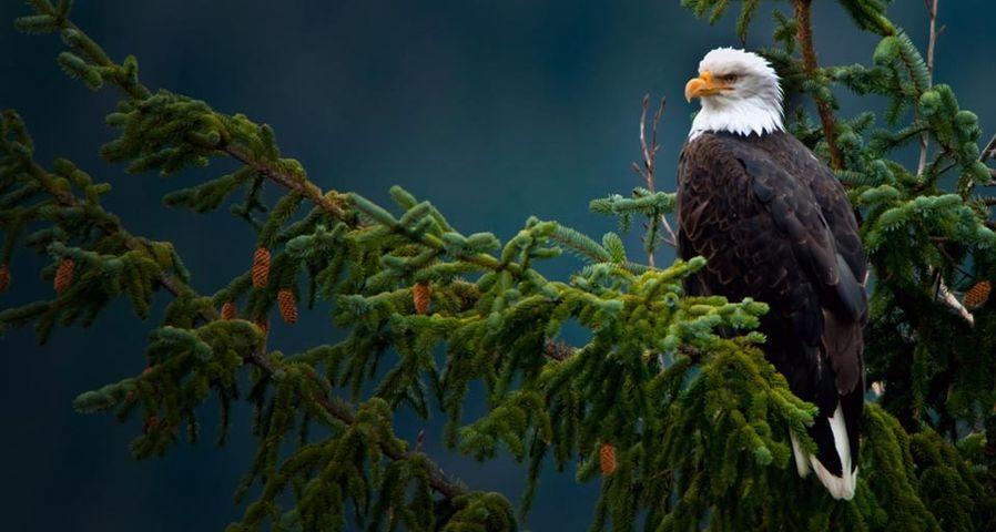 Bald eagle near the Mendenhall Glacier in Juneau, Alaska