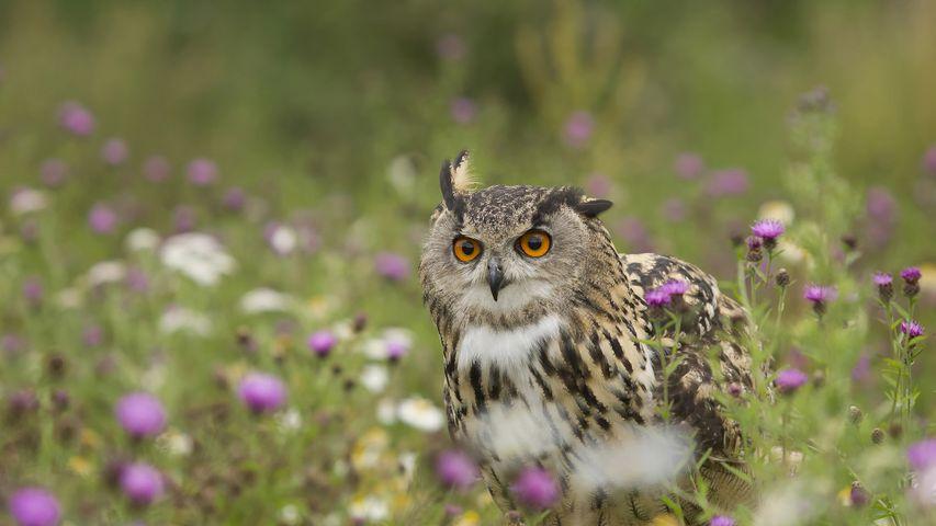 Eurasian Eagle-Owl (Bubo bubo) in wildflower meadow, Rhineland-Palatinate, Germany