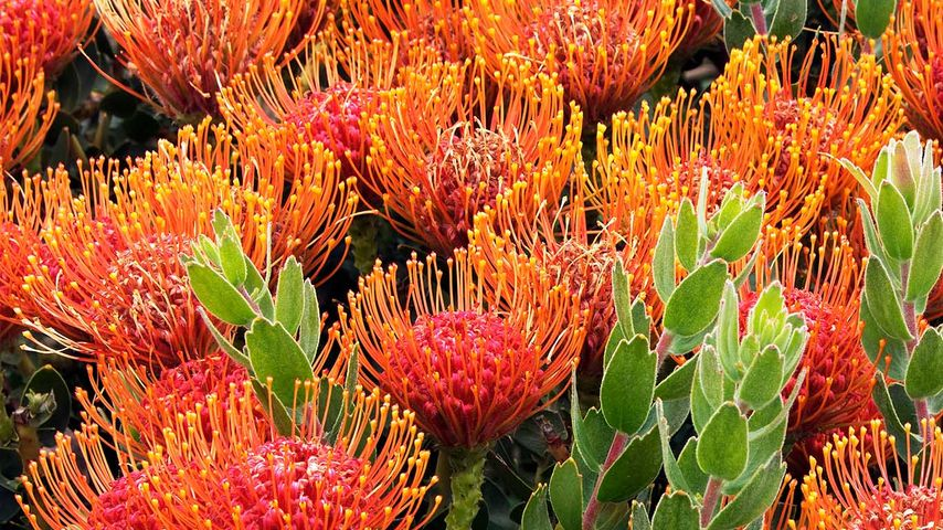 Pincushion protea flowers near the Bay of Fires in Tasmania, Australia