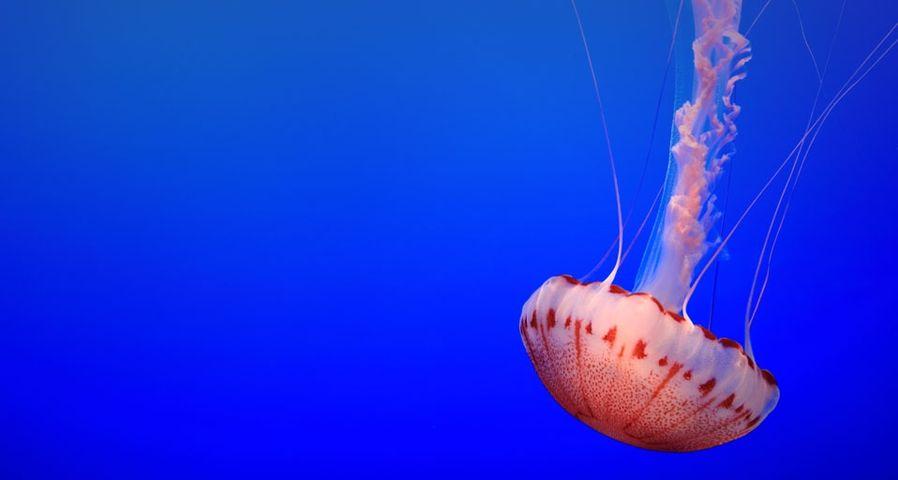 Nettle jelly fish at the Monterey Bay Aquarium, California