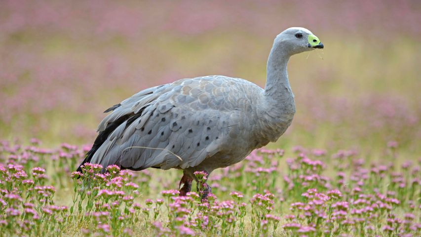 Cape Barren Goose (Cereopsis novaehollandiae) standing in a flowering meadow, Tasmania