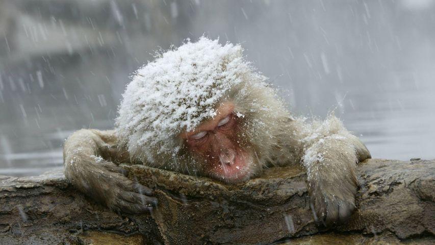 「温泉に入るニホンザル」