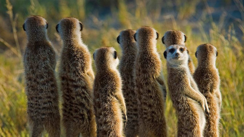 Meerkats in the Kalahari Desert in Botswana