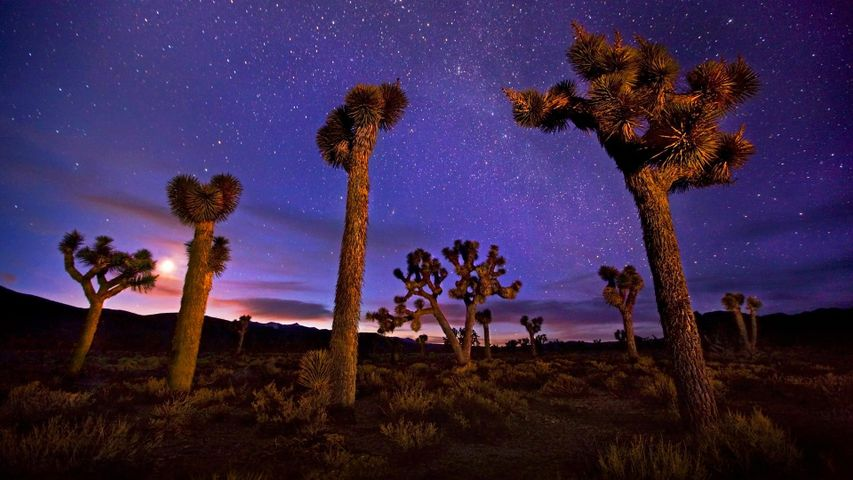 Joshua trees in Death Valley, California