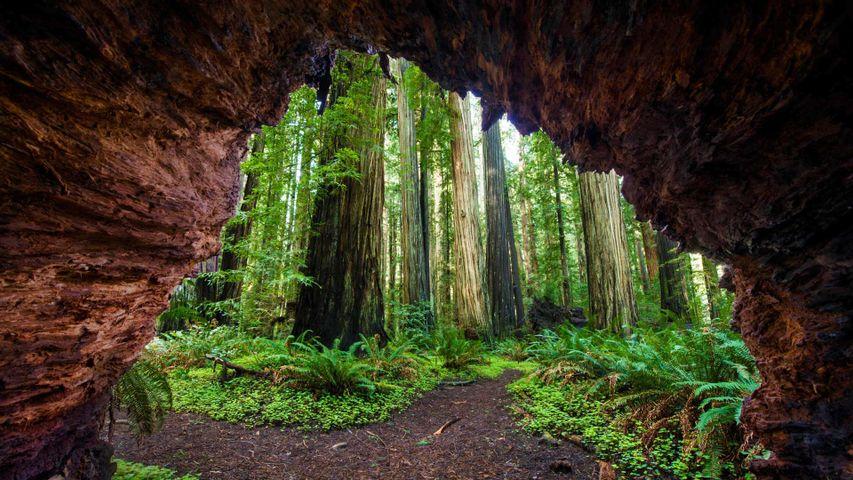 「セコイアの森」アメリカ, カリフォルニア州