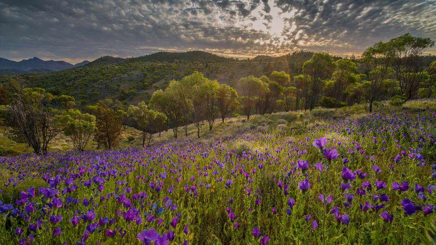 Wildflowers in the southern region of Flinders Ranges National Park, South Australia