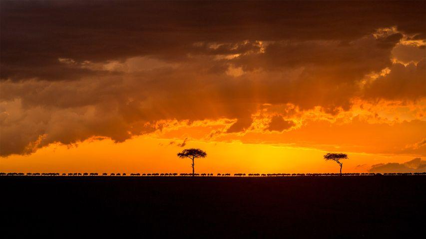 Blue wildebeest herd migrating at sunset, Maasai Mara National Reserve, Kenya