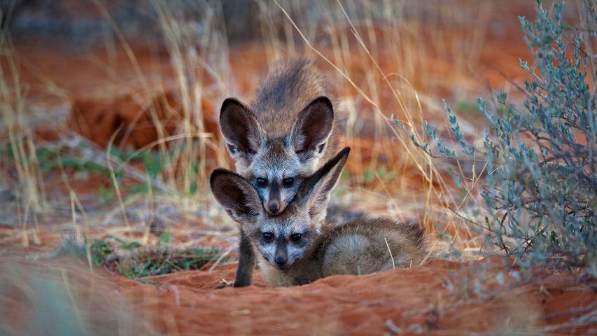 Bat-eared fox kits in Kgalagadi Transfrontier Park, Botswana