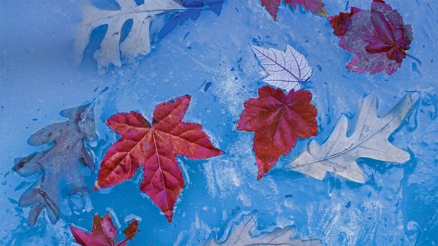 Autumn leaves frozen in ice, Price Lake, Julian Price Memorial Park, Blue Ridge Parkway, North Carolina