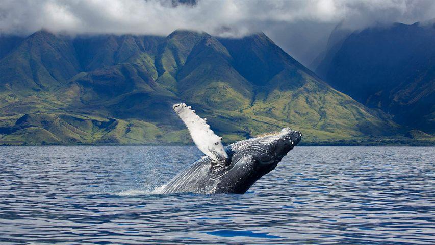 A humpback whale off the coast of Maui in Hawaii