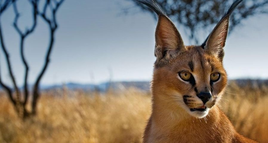Young caracal in a wildlife sanctuary near Windhoek, Namibia