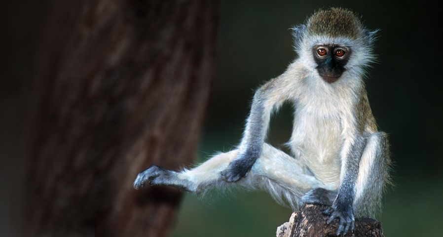 Vervet monkey in Kenya