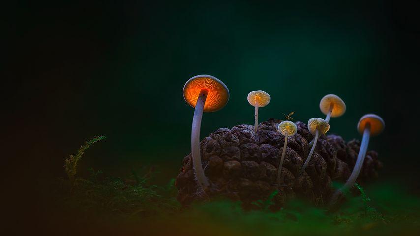 黑暗沙丘中的蘑菇,登海尔德近郊,荷兰