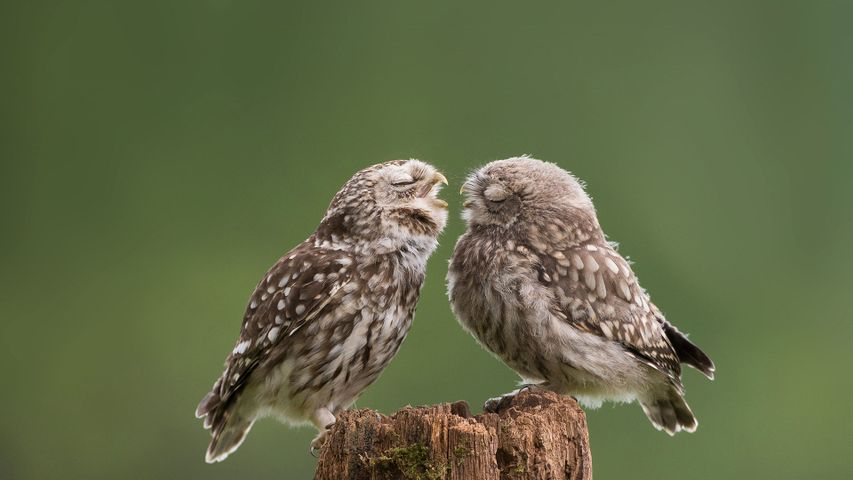 Mother owl dotes on her newborn son at their farmyard abode