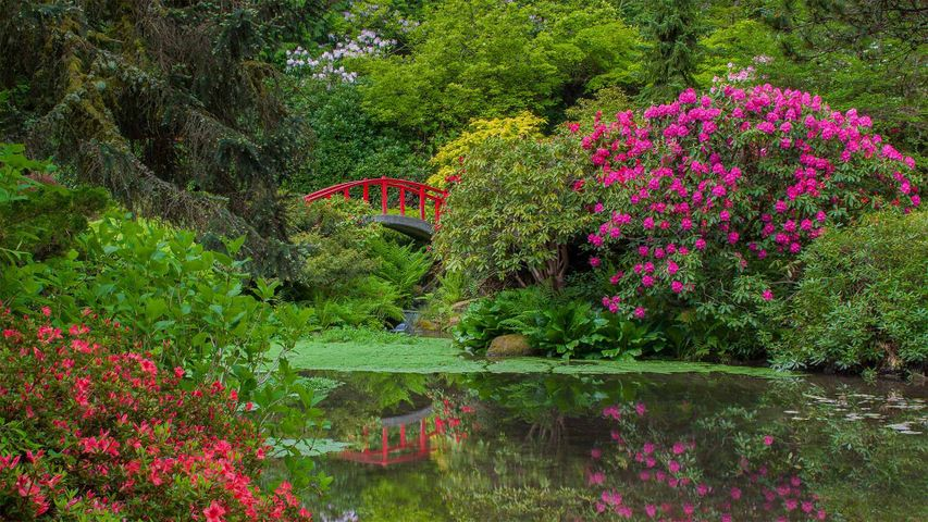 Rhododendrons and azaleas blooming around the Moon Bridge, Kubota Garden, Seattle, Washington