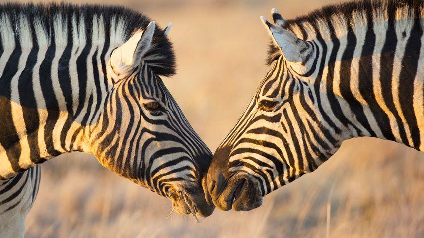 纳米比亚埃托沙国家公园,相互问候的平原斑马