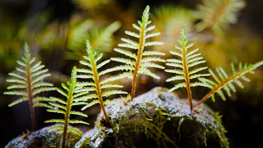 Stair-step Moss (Hylocomium Splendens) illuminated by sunlight in a damp forest