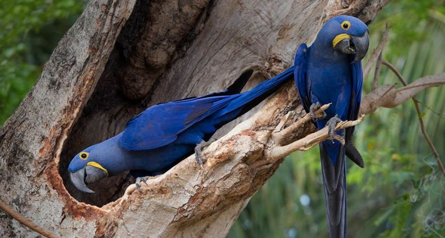 Two hyacinth macaws in a tree, the Pantanal wetland, Brazil