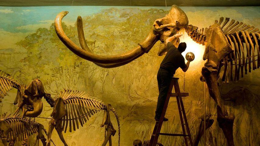 美国内布拉斯加州,哥伦比亚猛犸象标本