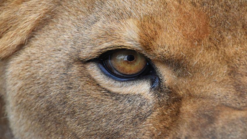 animal mammal brown carnivore looking cat close snout