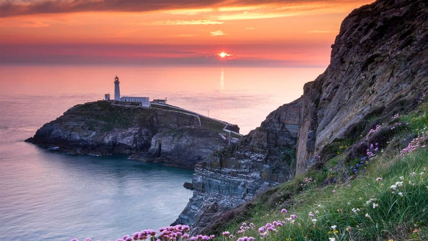 South Stack Lighthouse and coastal wildflowers at sunset, Anglesey