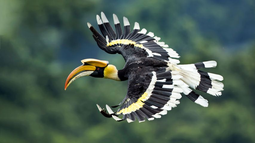 Great Hornbill spotted in West Bengal, India