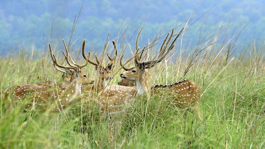 Five adult deer in the grasslands at Jim Corbett National Park, Uttarakhand